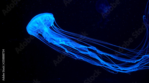 Obraz na plátne Beautiful jellyfish moving through the water neon lights