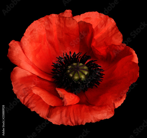 Canvas Prints Poppy red poppy flower on the black isolated background with clipping path. Closeup. no shadows. For design. Nature.