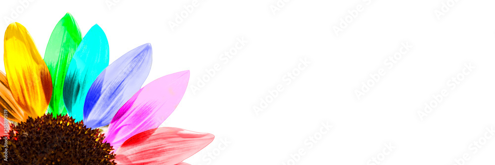 Fototapety, obrazy: Close up of a rainbow colored sunflower isolated on white panoramic background