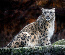 Snow Leopard On The Rock. Lati...