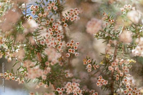 Flora of Gran Canaria - Erica arborea Canvas Print