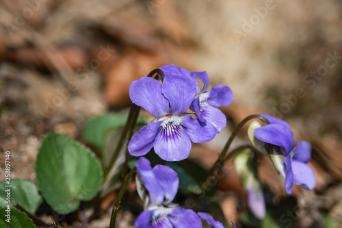 Violet Flower in Bloom in Springtime