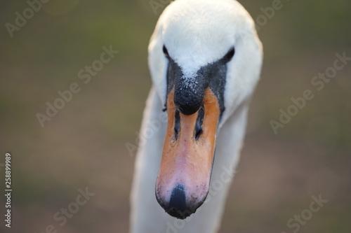 Poster Swan Witte Zwaan