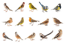 Set Of Small Song Birds Isolated On White Background