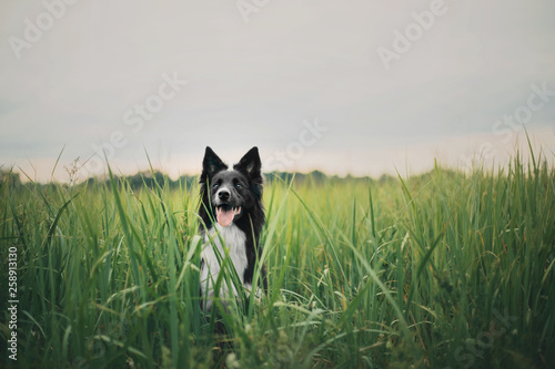 Tablou Canvas Cute black & white border collie dog in forest
