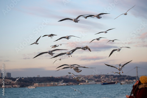Seagull feeding - Very friendly seagull takes bagel from people's hand - Istanbu Canvas-taulu