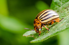 Colorado Potato Beetle Crawlin...