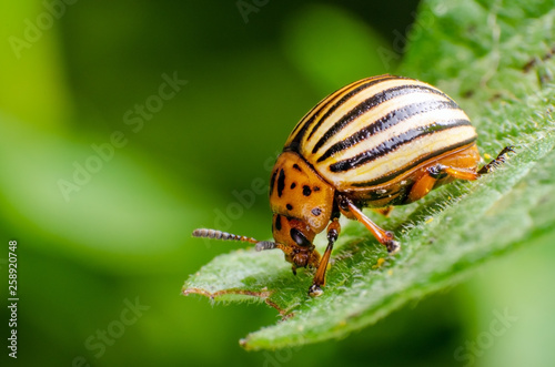Carta da parati Colorado potato beetle crawling on potato leaves