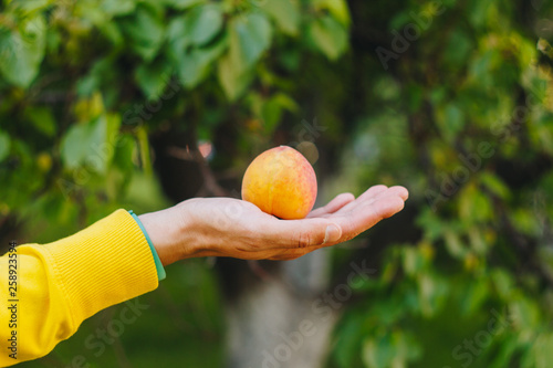 Fotografia  man holds in his hand ripe peach on the background of trees in the park and green grass