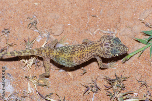 Fotografia  Middle Eastern Short-Fingered Gecko (Stenodactylus doriae)