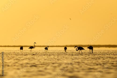 Poster Nautique motorise Greater Flamingo - Phoenicopterus roseus, beautiful water bird from southern Africa sea coast, Walvis Bay, Namibia.