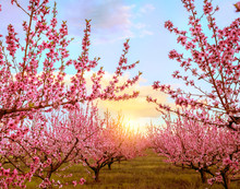 Spring Flowering Of Peach Tree. Delicate Pink Flowers On A Branch In The Garden. Selective Soft Focus.