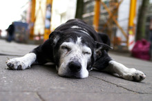 Dog Lies In Front Of A Shop In...