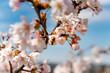 Kirschblüte mit Biene