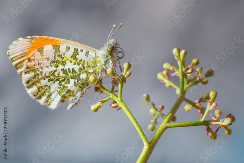 Nel mondo delle farfalle (Anthocharis cardamines) Canvas Print