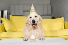 Cute Golden Retriever In Party Cap With Birthday Cupcake In Apartment