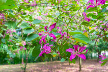Butterfly Tree, Orchid Tree, P...