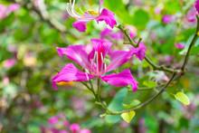 Butterfly Tree, Orchid Tree, Purple Bauhinia, Beautiful Flower In Garden.