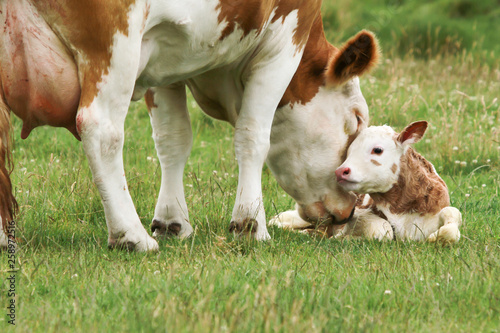 Acrylic Prints Cow cow_calf