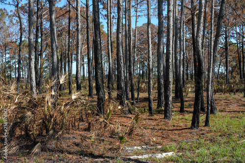 Florida pine forest after a prescribed burn