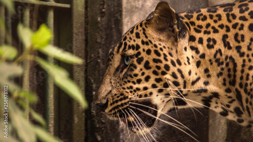 Recess Fitting Leopard close-up of a leopard in zoo