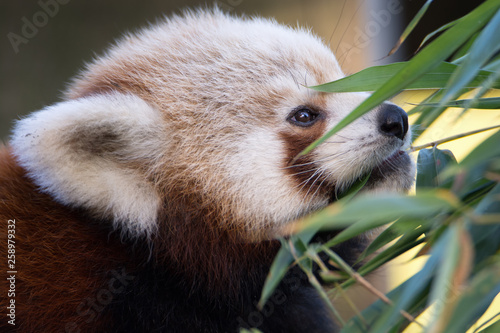 Stickers pour portes Panda red panda eating bamboo