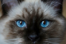Very Beautiful, Bright, Kitten's Blue And Expressive Eyes