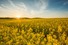 Yellow Rapeseed Field At Sunset