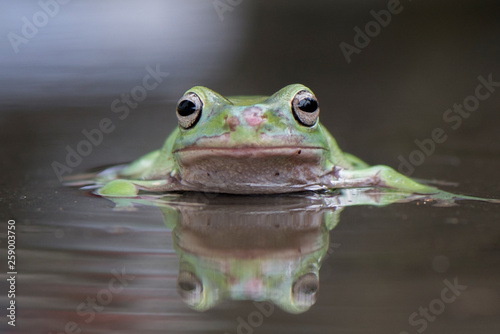 Photo sur Toile Grenouille Swim Frog