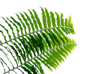 Green Leaves Fern Tropical Rainforest Foliage Plant Nature Leaf Pattern Isolated On White Background, Clipping Path Included.