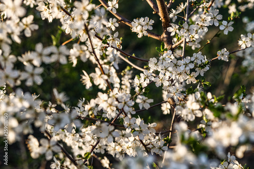 Photo  Sloes tree in early spring germany bavaria