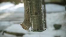 Squirrel Upside Down Stealing ...