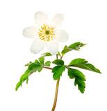 Spring flower wood Anemone (Anemone nemorosa) isolated on white background