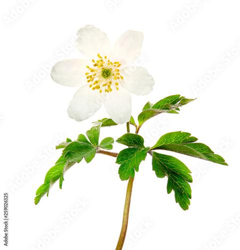 Spring flower wood Anemone (Anemone nemorosa) isolated on white background Fototapeta