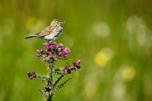 Meadow Pipit - Anthus Pratensis Sitting On Carduus - Carduus Crispus, With Insects In The Beak. Wildife Scene From Norway.