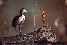 Young Chick  Eurasian Coot - F...