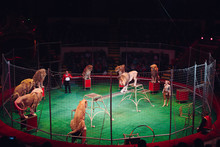 Lion In Circus Cage.
