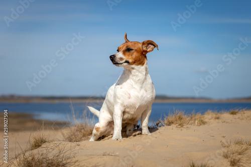 Fotografie, Obraz  Portrait of Jack Russell Terrier on the sand