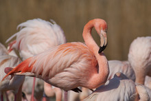 Pink And White Plumage Of A Greater Flamingo (Phoenicopterus Roseus)