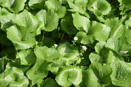 Fotografia Japanese horseradish (Wasabi) field