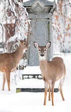 Deer In The Cemetery In Winter. Monument In The Background.