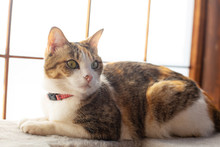 Cute Calico Cat Lying By The W...