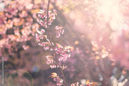 Foto op Canvas Kersenbloesem Pink cherry blossom with sunlight, beautiful flowers in spring season