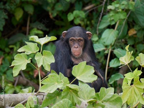 Chimpanzee (Pan troglodytes) Fototapete