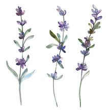 Purple Lavender Floral Botanical Flower. Watercolor Background Illustration Set. Isolated Lavender Illustration Element.