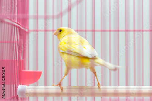 Fotografia  beautiful yellow canary in a cage