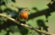 A beautiful Robin, Erithacus rubecula, perching on a branch in a tree.