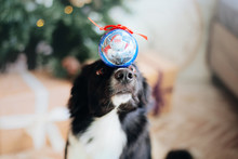 Border Collie Dog Posing At The Christmas Decoration.
