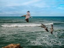 Pelicans Fly Over The Ocean An...