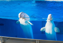 Two White Beluga Whales With T...